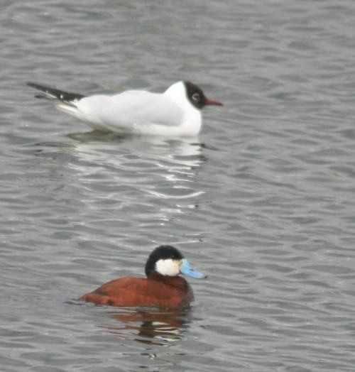 woolston-eyes-ruddy-duck-reduced.jpg