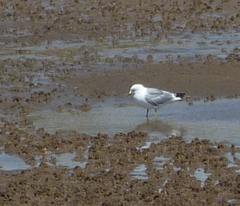 19-crosby-common-gull.jpg