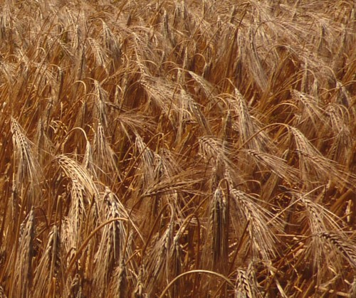 20-gorse-hill-barley.jpg