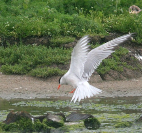cemlyn-bay-arctic-tern.jpg