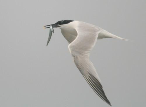 cemlyn-bay-sandwich-tern.jpg
