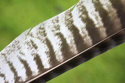 mna-buzzard-feather1.jpg