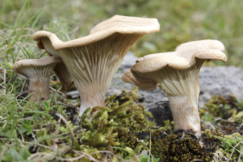 mna-llangollen-meadow-waxcap1.jpg