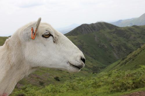 mna-long-mynd-sheep1.jpg