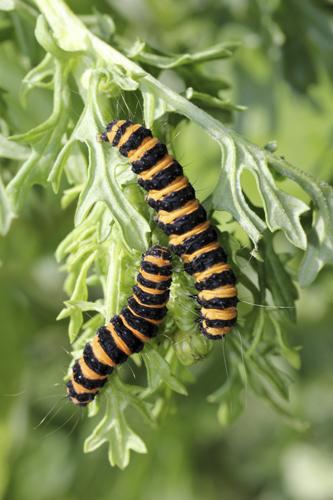 mna-potteric-cinnabar-moth-caterpillars1.jpg