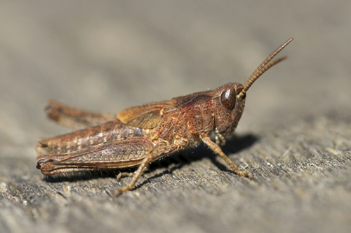 mna-potteric-field-grasshopper-nymph1.jpg