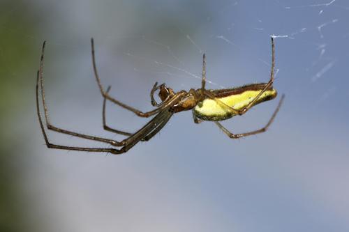 mna-potteric-tetragnatha-spider1a.jpg