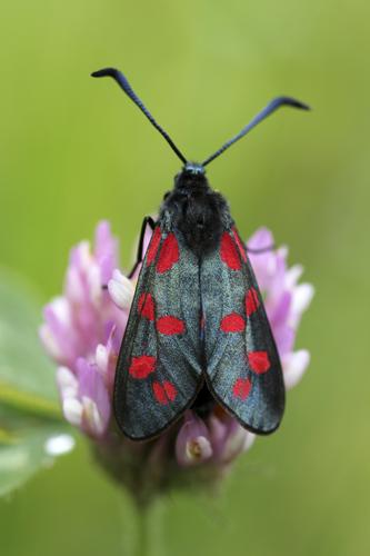 mna-wigan-burnet-moth1.jpg