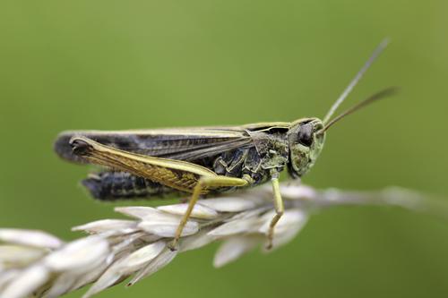 mna-wigan-field-grasshopper1.jpg