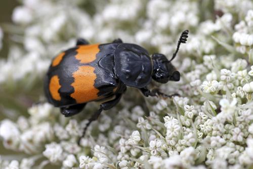mna-wigan-sexton-beetle1.jpg