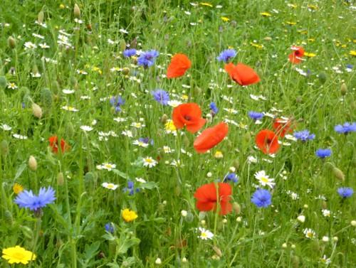 poppies-and-cornflower.jpg