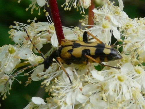 potteric-carr-longhorn-beetle-strangalia-maculata.jpg