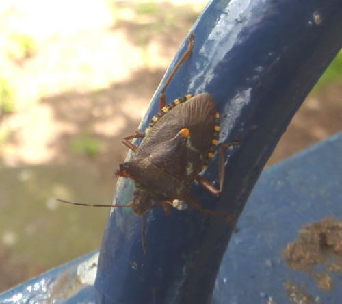 22-sefton-park-shield-bug.jpg