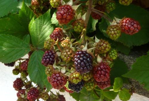 23-little-crosby-blackberries.jpg