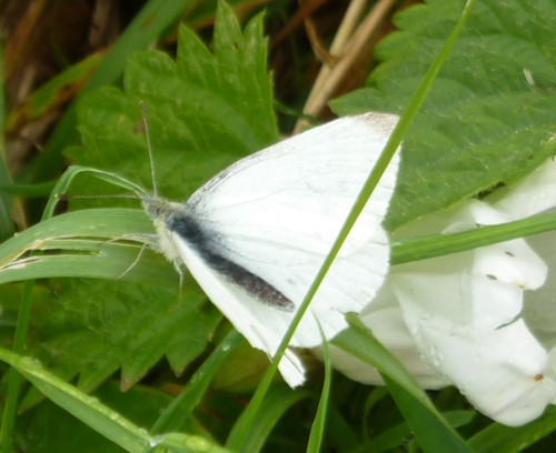 23-little-crosby-white-butterfly.jpg