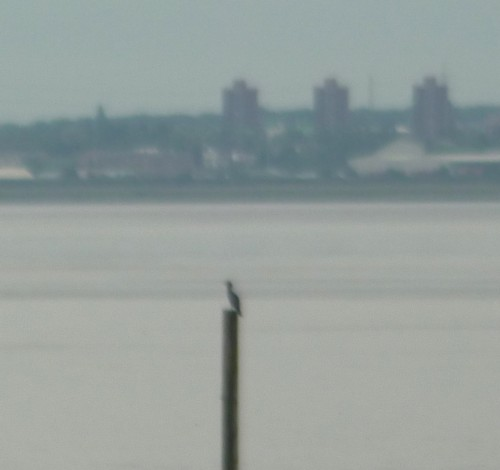 24-garston-cormorant.jpg
