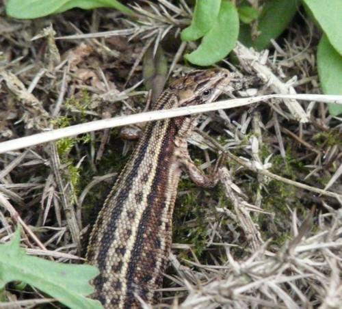 long-mynd-common-lizard.jpg