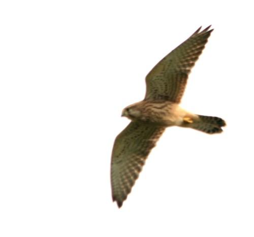 long-mynd-kestrel-female.jpg