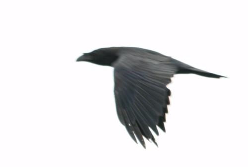 long-mynd-raven.jpg