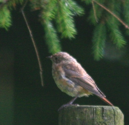 long-mynd-redstart-juv.jpg