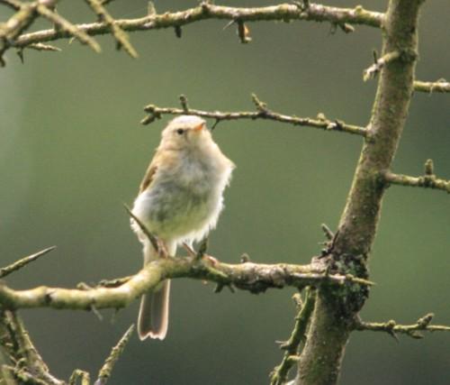long-mynd-willow-warbler.jpg