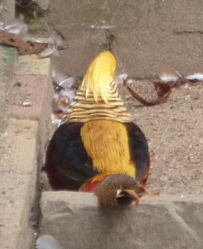 26-churchtown-golden-pheasant.jpg
