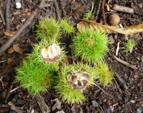 28-eastham-sweet-chestnut.jpg
