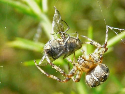 mna-cd-garden-spider.jpg