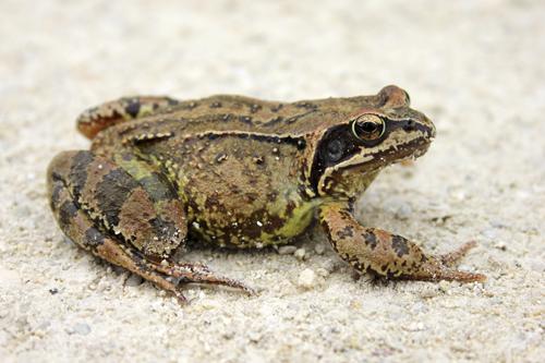 mna-common-frog1.jpg