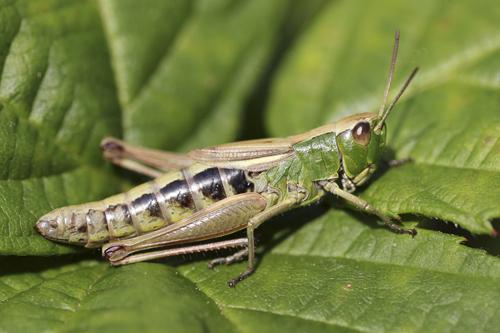 mna-dibbinsdale-green-grasshopper1.jpg