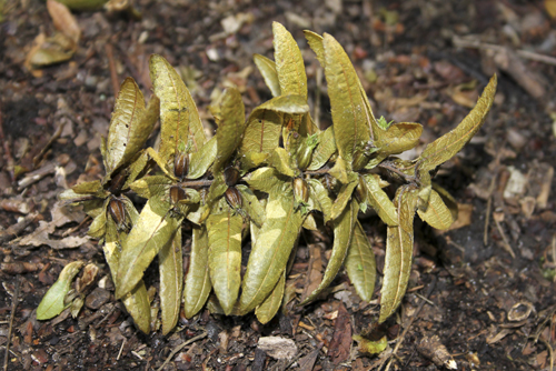 mna-dibbinsdale-hornbeam-seeds1.jpg