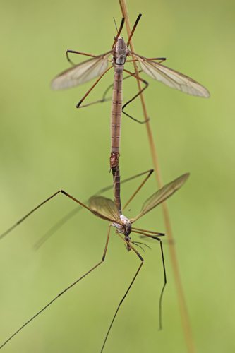 mna-dibbinsdale-mating-craneflies1.jpg