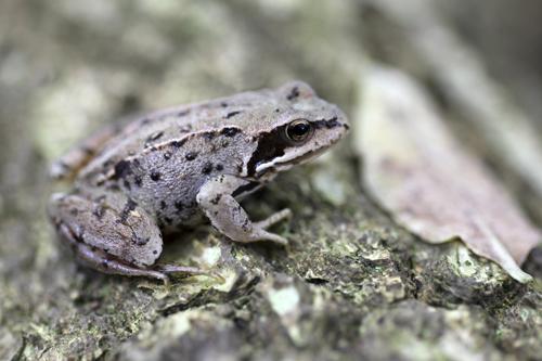 mna-freshfield-frog1.jpg