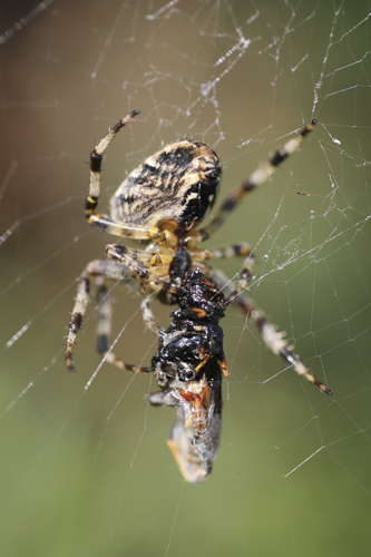 mna-garden-spider-with-prey1.jpg
