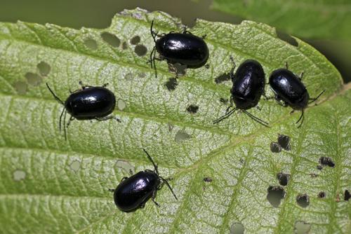 mna-pennington-flash-alder-leaf-beetle1.jpg