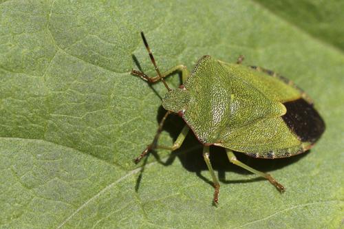 mna-pennington-flash-green-sheildbug1.jpg