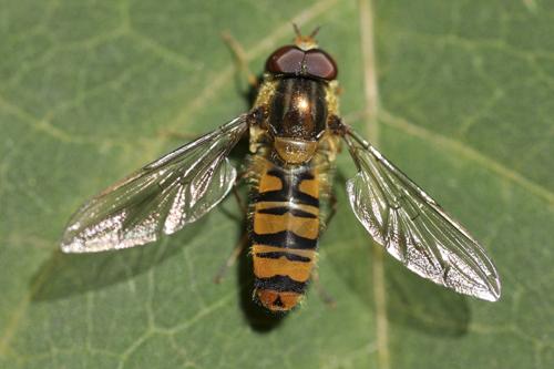 mna-pennington-flash-marmalade-hoverfly1.jpg