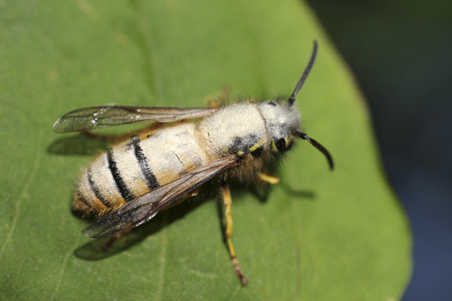 mna-pennington-flash-pollen-wasp1.jpg