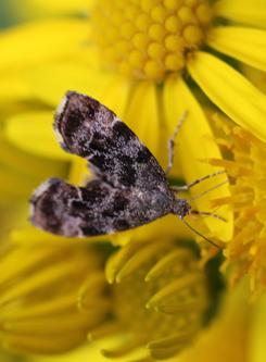 mna-ragwort-moth1.jpg