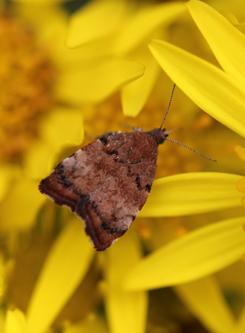 mna-ragwort-moth2.jpg