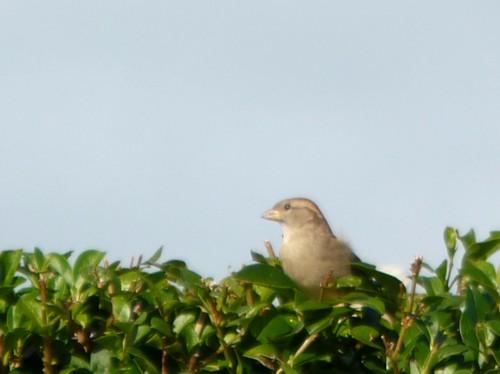 30-hoylake-sparrows.jpg