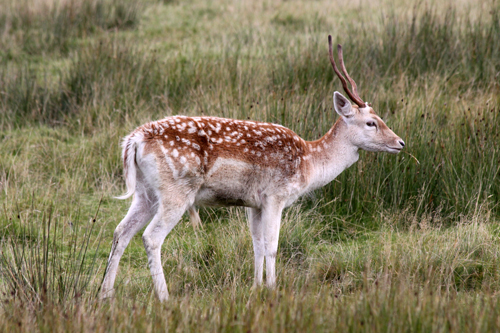 mna-lyme-park-fallow-deer2.jpg