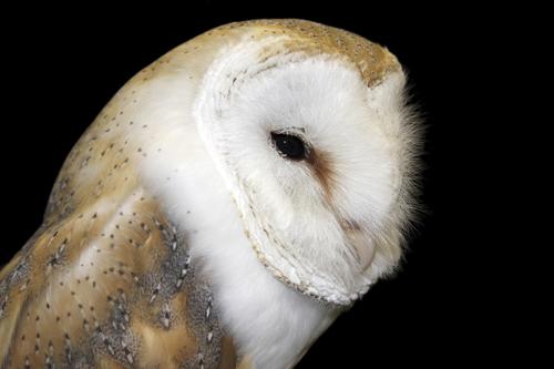 mna-rockcliffe-raptors-barn-owl1.jpg