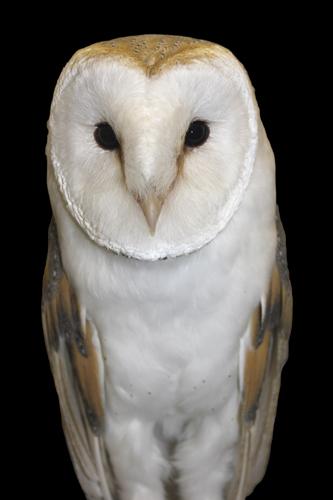 mna-rockcliffe-raptors-barn-owl3.jpg