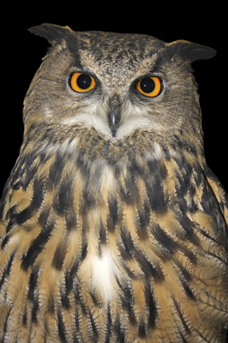 mna-rockcliffe-raptors-eagle-owl1.jpg
