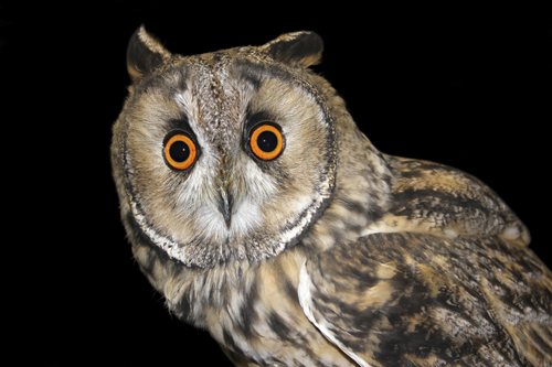 mna-rockcliffe-raptors-le-owl2.jpg