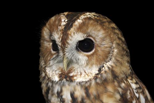 mna-rockcliffe-raptors-tawny-owl1.jpg