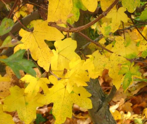 33-pickerings-pasture-guelder-rose-leaves.jpg