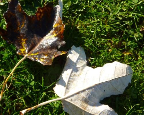 33-pickerings-pasture-poplar-leaves.jpg