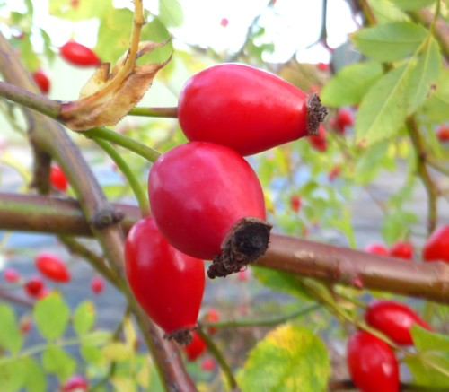 33-pickerings-pasture-rose-hips.jpg